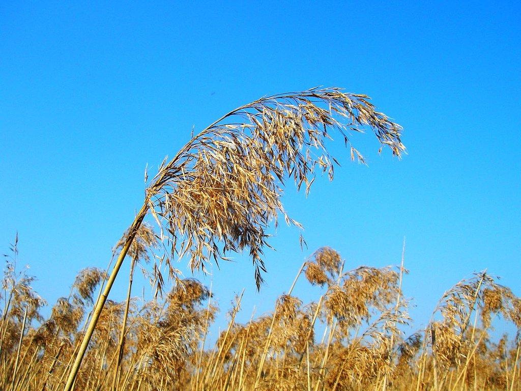 Common_Reed_Phragmites_australis_CC_Attribution_visulogik