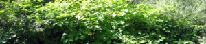 cow knotweed