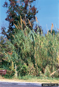 Giant_Reed_72
