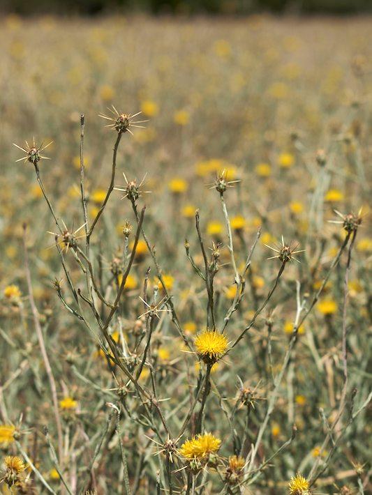 Yellow-Thistle-Field-710