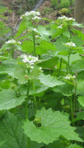 garlic_mustard_flowering