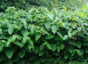 Giant_Knotweed_2