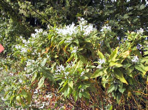 himalayan-knotweed
