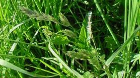 orchard-grass2