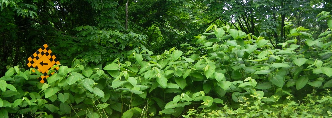 knotweed header